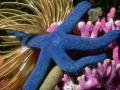 etoile_mer-bleue